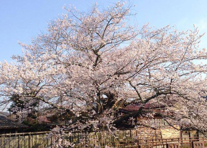 イベント 4月遠山桜開花,日本大正村