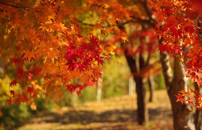 イベント 11月紅葉が見ごろ,日本大正村